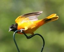 A Northern Oriole