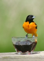 Oriole at the Jelly Jar