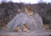 Lion cubs-Namibia
