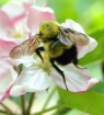 Bees and Apple Bl...