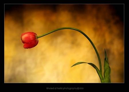 --Tulip--
