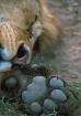 Lion-Tanzania II