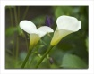 Calla lilies in s...