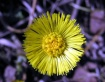Lonely ColtsFoot