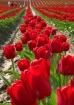 Tulips and Touris...