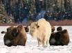 Bison breath
