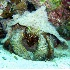 © Kristin A. Wall PhotoID # 916842: Crab in Conch F 185