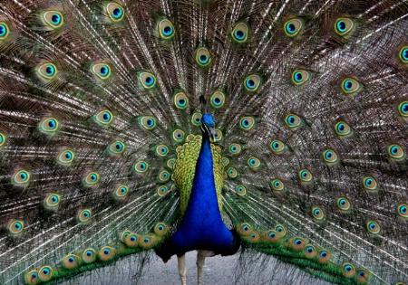 Blooming Peacock