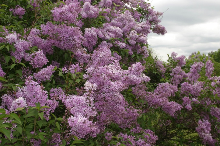 Lilac- with flash
