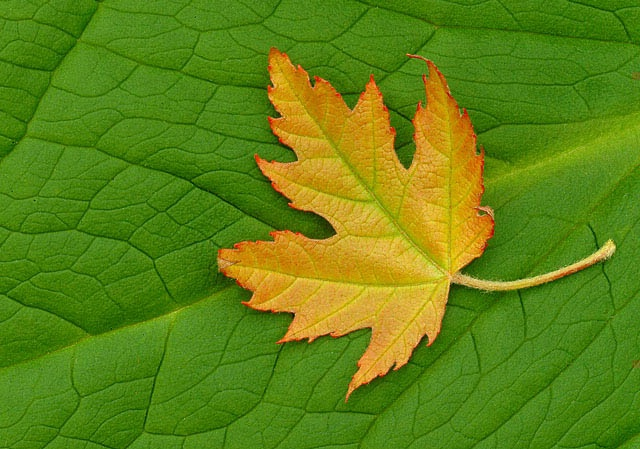 New Maple Leaf On Skunk Cabbage