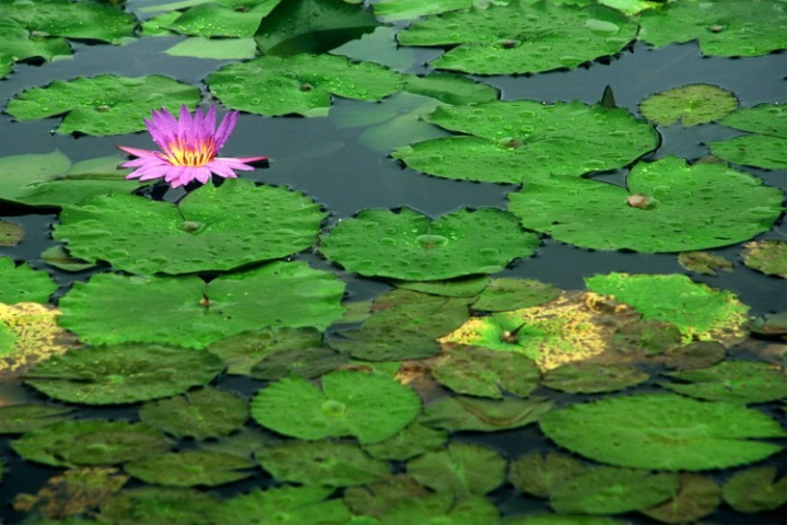 A solitary water lily