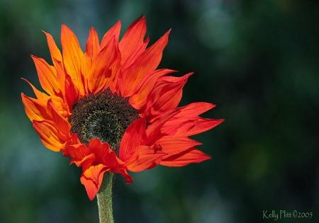 California Sunflower