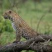 Leopard-South Afr...