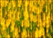 Screaming Yellow