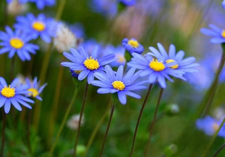 Blue Daisy's