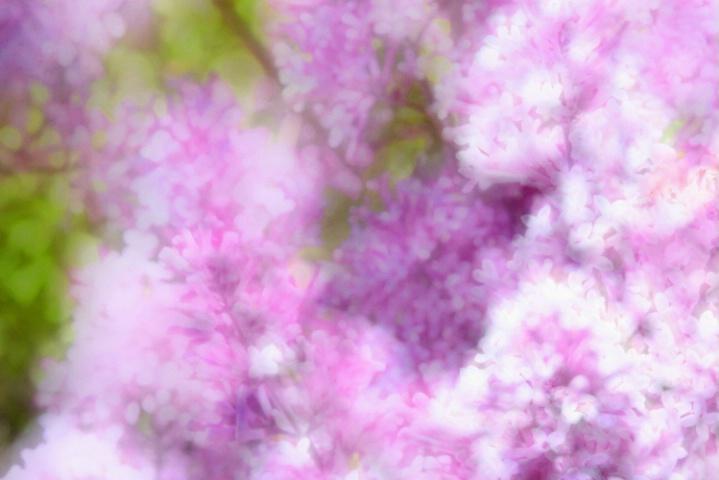 Lilacs A Glow