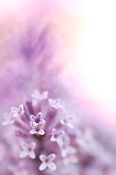 Painted Lilacs