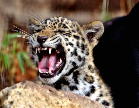 Roaring baby Jag