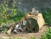 Tuckered Tiger