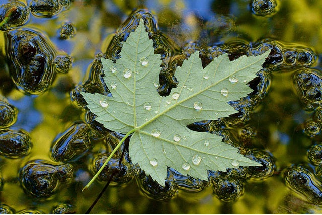 Floating Maple w/reflections