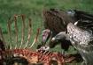 Vultures-Tanzania