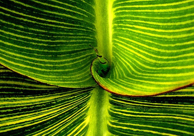 Striped Canna leaves