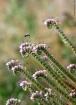 Scorpion Weed