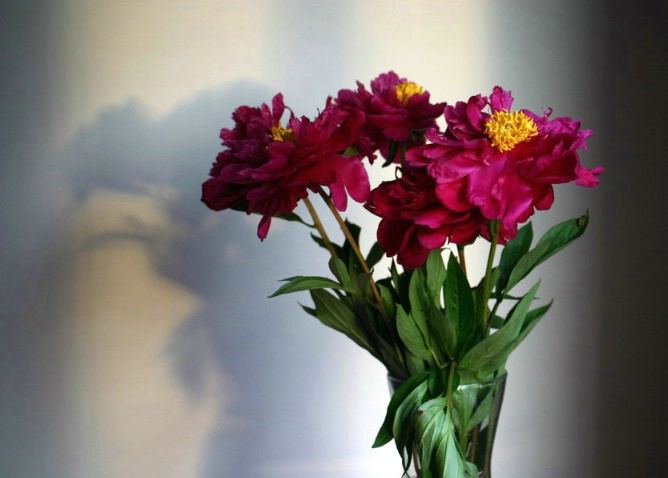 Evening shaded peonies - ID: 959188 © Liandra Barry
