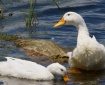One Happy Duck