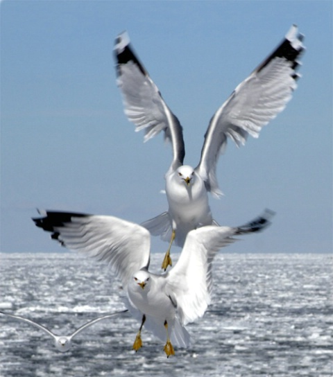 Gulls Coming In For A Landing