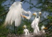 Egret Family with...
