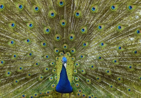BEAUTY OF A PEACOCK