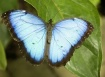 Blue Morpho Butte...