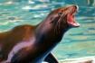 Sea Lion 03