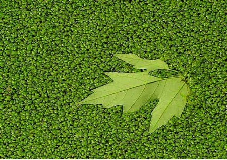 Maple In Duck Weed