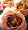 Morning Sun Roses