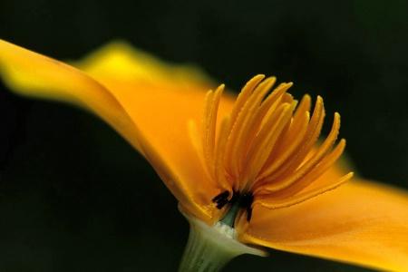 Take a Petal from a Poppy