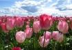 Tulip Horizon