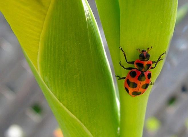 Not a Lady (bug)