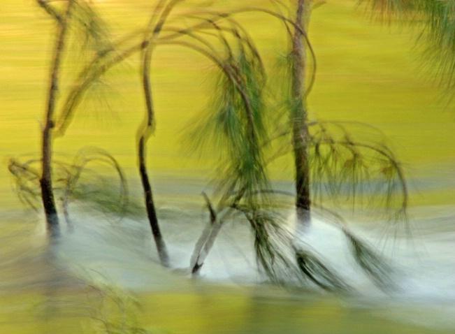 Pine Boughs Dancing - ID: 995756 © Sharon C. Nickodem