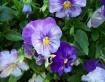 Pretty Purple Pan...