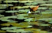 Greater Jacana