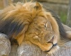 Lion sleeps today
