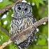 © Richard S. Young PhotoID # 1008316: Curious Barred Owl, Atlanta, GA