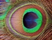 Peacocks eye