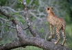 Wounded Cheetah