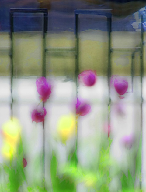 Tulips and Wrought Iron Fence