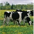 © Eric B. Miller PhotoID# 1027246: Of course I've heard of cows!