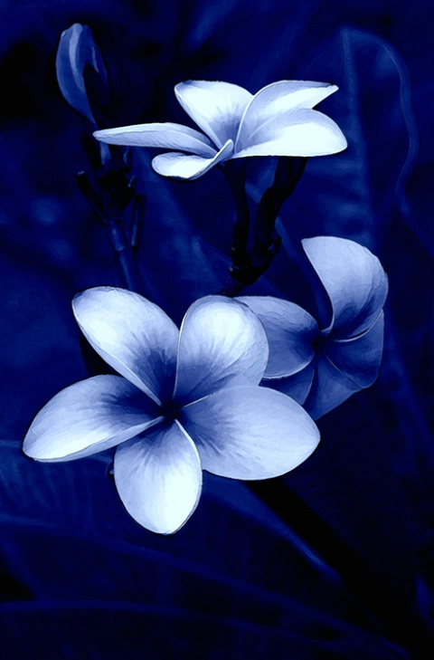 PLUMERIA (BLUE STUDY)