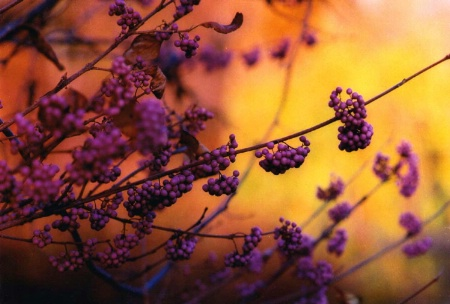 Purple berries on the background of a yellow maple